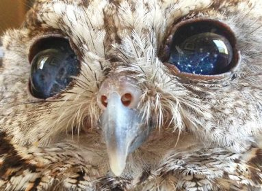 Zeus - the owl with galaxy eyes