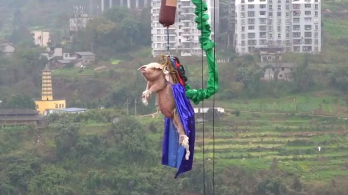 China Theme Park Makes A Pig Bungee Jump