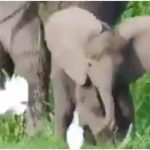 elephant playing with birds