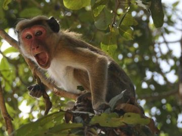 Monkeys Ran Away With COVID-19 Samples