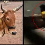Man rapes cow