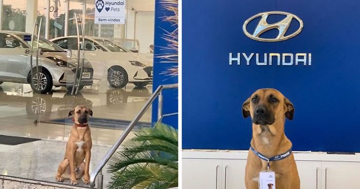 This Stray Dog Kept Visiting A Hyundai Showroom So They Give Him A Job And His Own ID Card