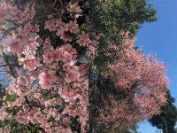 cherry blossom in Meghalaya
