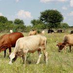 cow urine phenyl